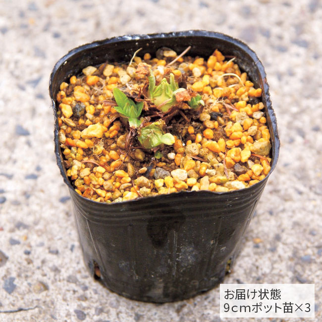 フラワーフェア 九輪草(くりんそう)3種3株