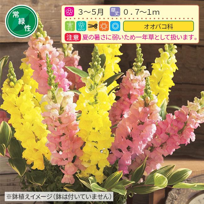 フラワーフェア 切り花向きキンギョソウ 2種4株