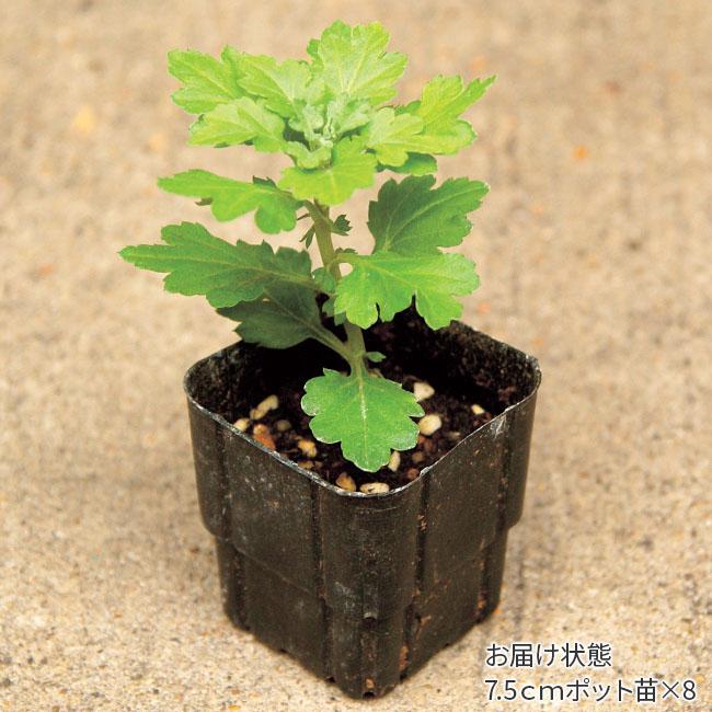 フラワーフェア 二度咲き大輪菊 混合8株