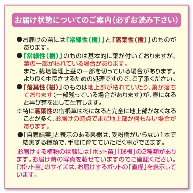 かおりバンマツリ 大株 2ポット