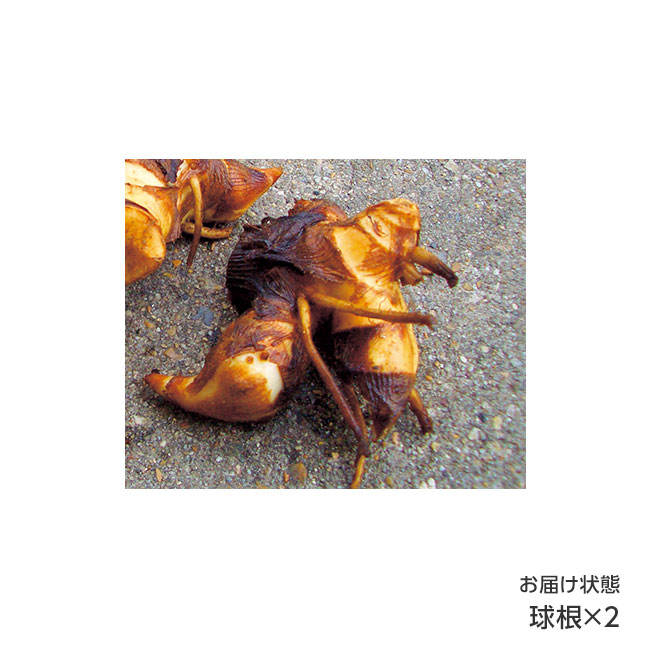フラワーフェア 斑入り(ふいり)カンナ 2種2球