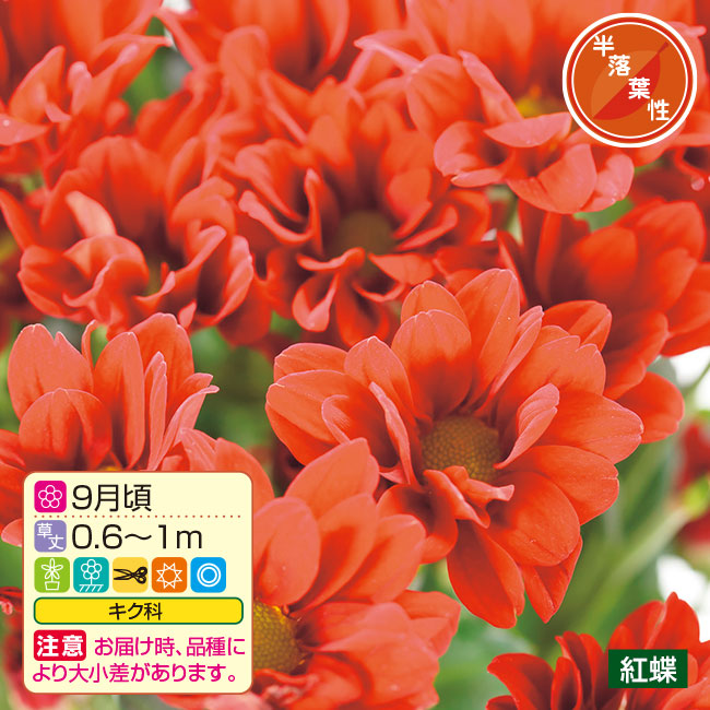 フラワーフェア 秋のお彼岸咲き小菊 4種8株
