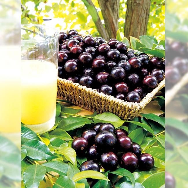 フラワーフェア ジャボチカバ(ぶどうの木) 1ポット