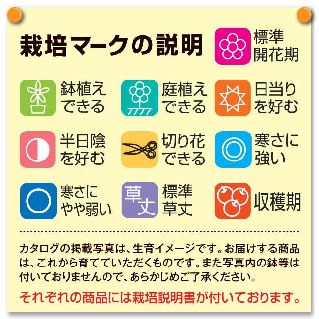 フラワーフェア 雑草知らず(タイム ロンギカウリス)3株
