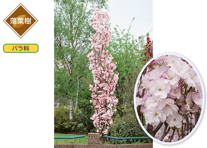 桜 天の川 1ポット