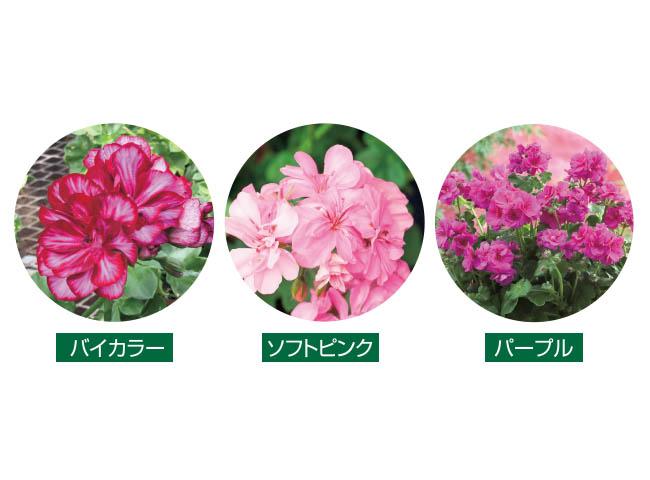 フラワーフェア バラ咲きアイビーゼラニューム4種4株