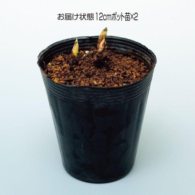 フラワーフェア 芍薬ソルベット 2ポット