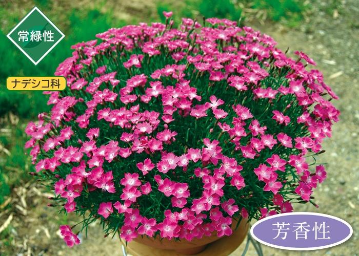 四季咲き芳香なでしこ かほり(R)3株