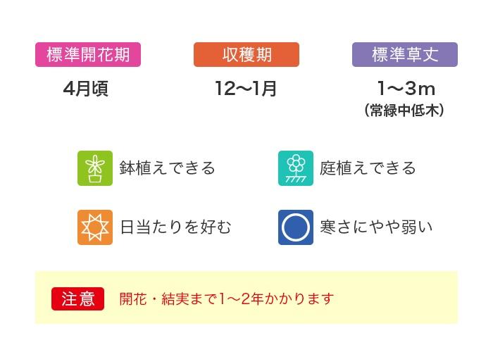 桜島小みかん 1ポット