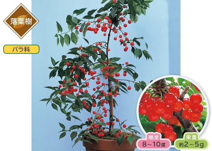 さくらんぼ 暖地桜桃 1ポット