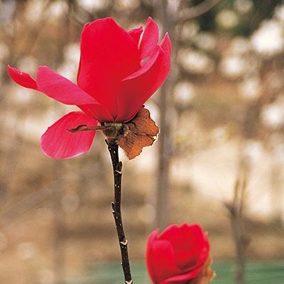 赤花モクレン バルカン 1ポット