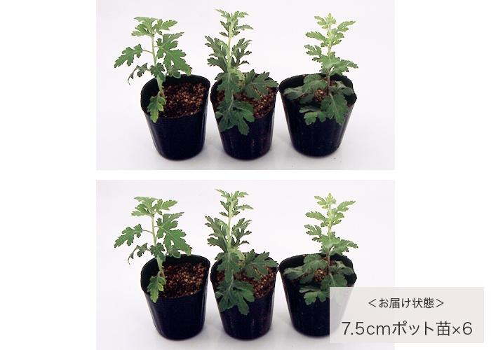 二度咲き変わり菊 3種6株