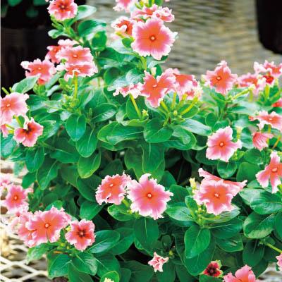 フラワーフェア フリンジ咲きビンカ(日々草)3種3株