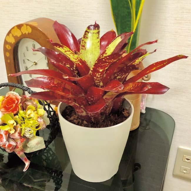 フラワーフェア ネオレゲリア 赤葉系 1鉢