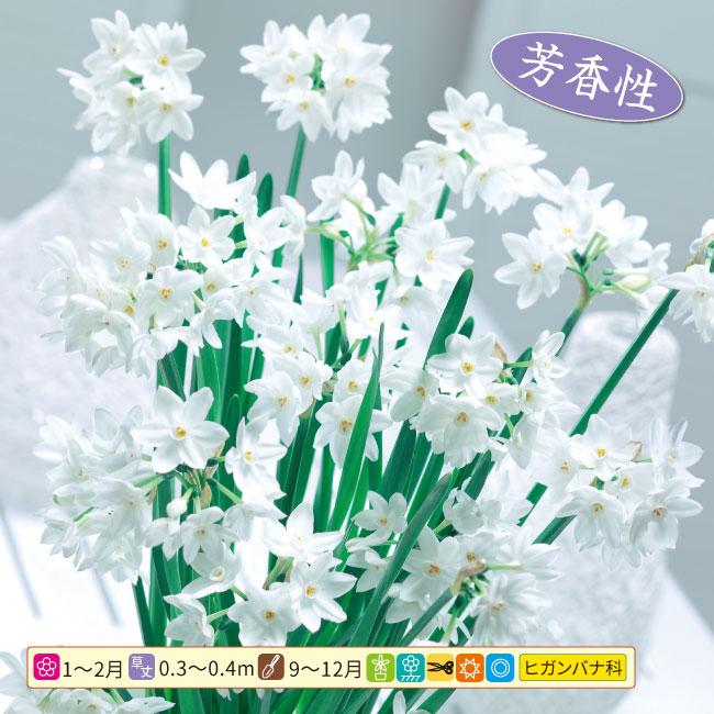 フラワーフェア 早咲き純白かほり水仙 10球