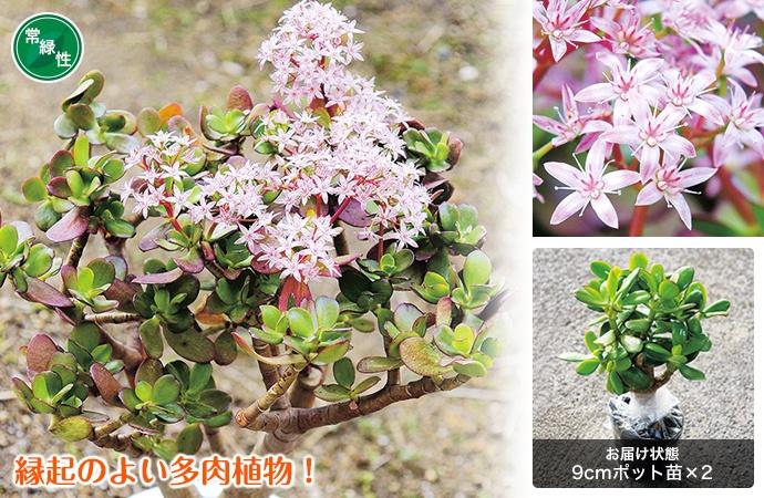 金のなる木 桜花月(さくらかげつ) 2株